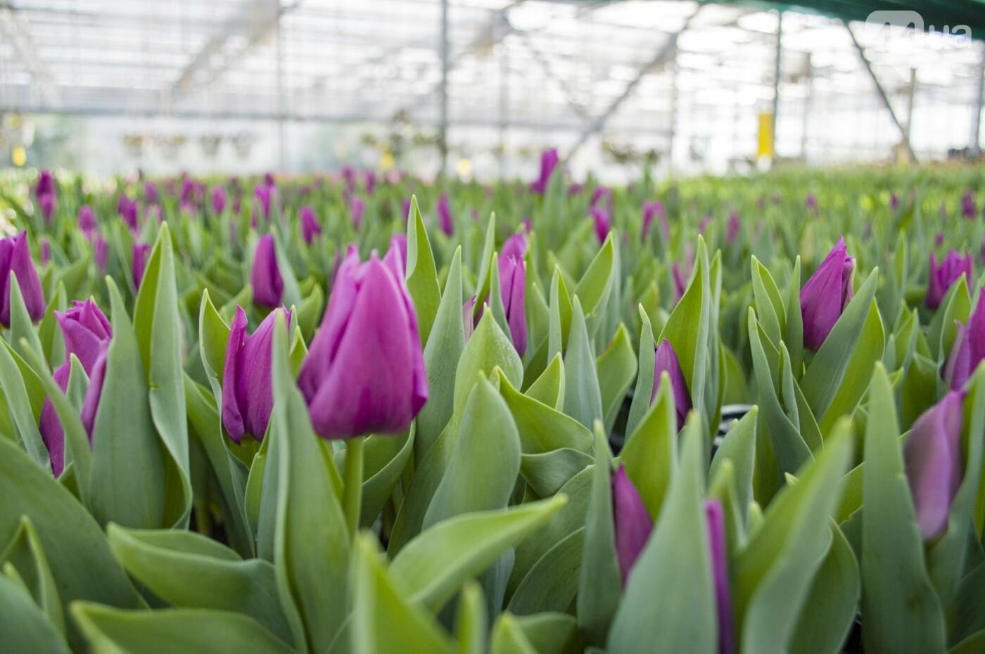 Цветочный рай: в киевской оранжерее зацвели десятки тысяч тюльпанов, фото-4