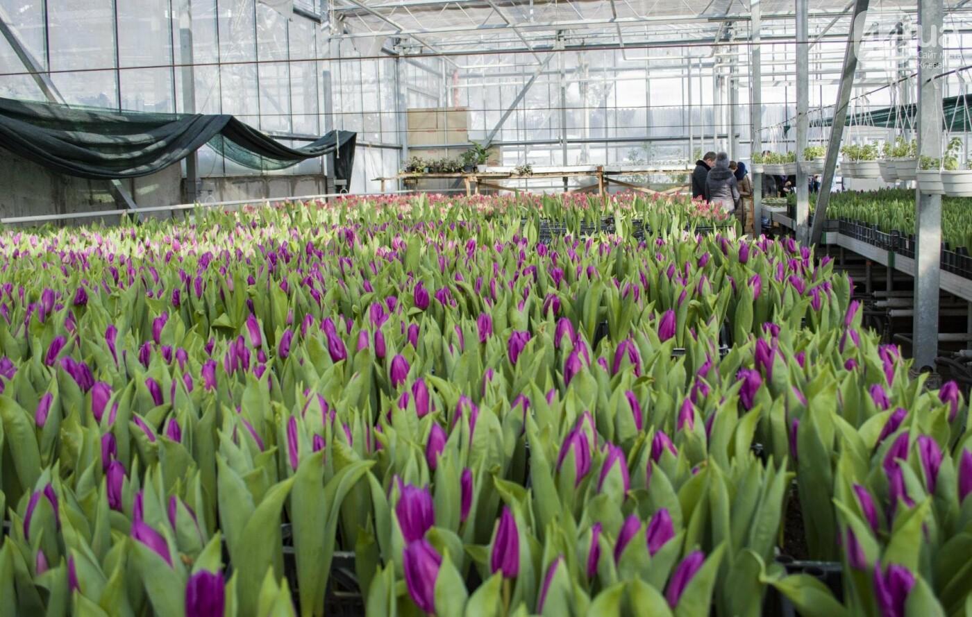 Цветочный рай: в киевской оранжерее зацвели десятки тысяч тюльпанов, фото-2