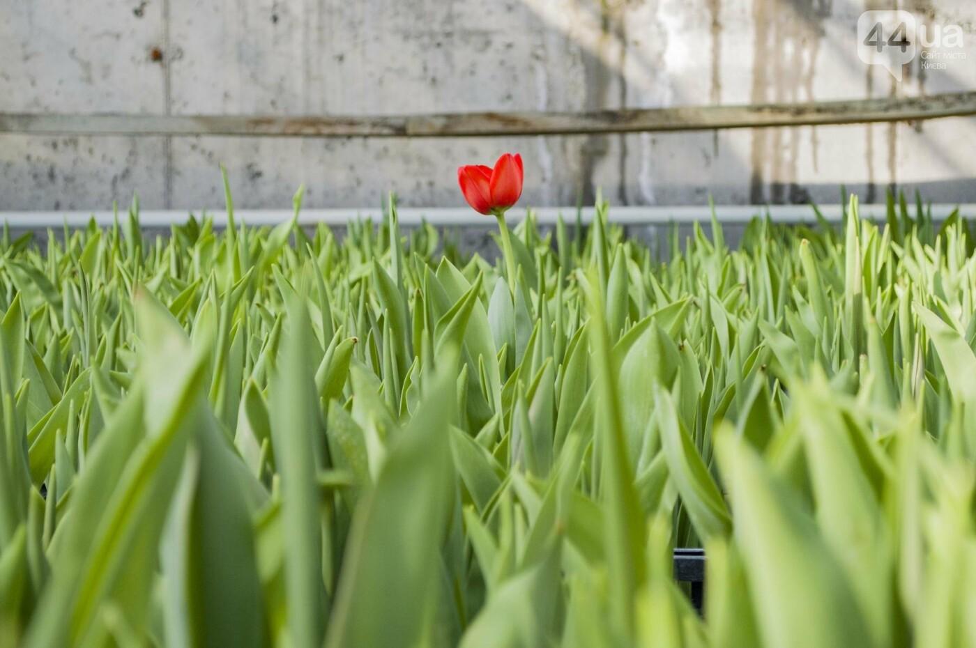 Цветочный рай: в киевской оранжерее зацвели десятки тысяч тюльпанов, фото-7