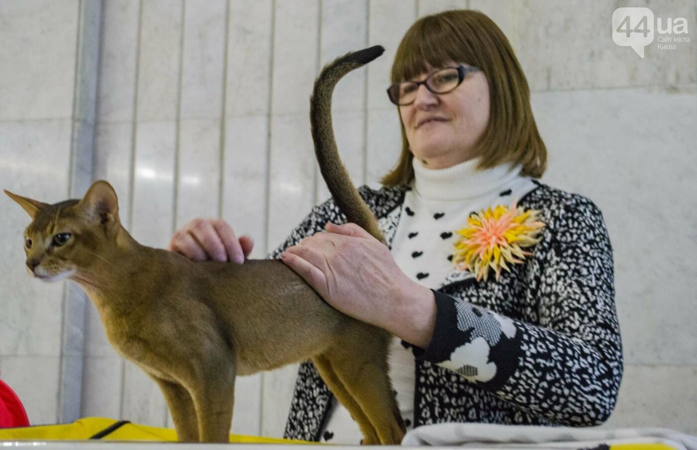 Битва гигантов: в Киеве соревновались коты-великаны, фото-12