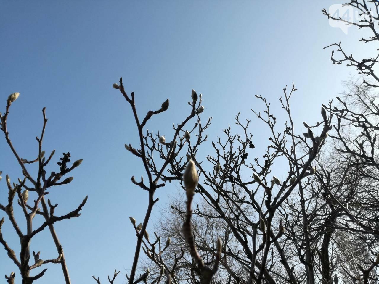 В Киеве зацвели магнолии, фото-5