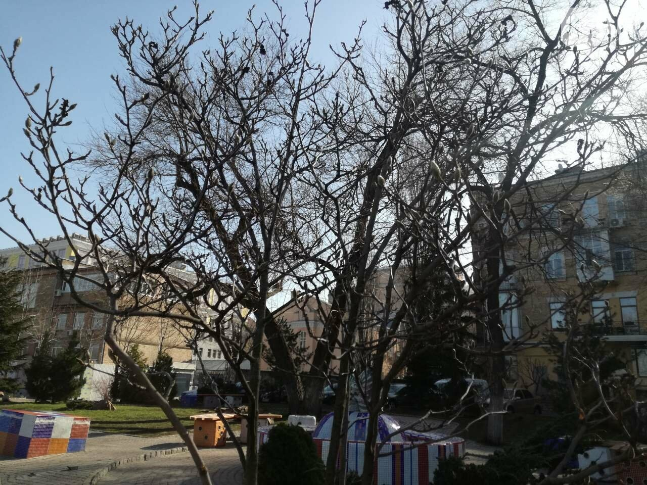 В Киеве зацвели магнолии, фото-4