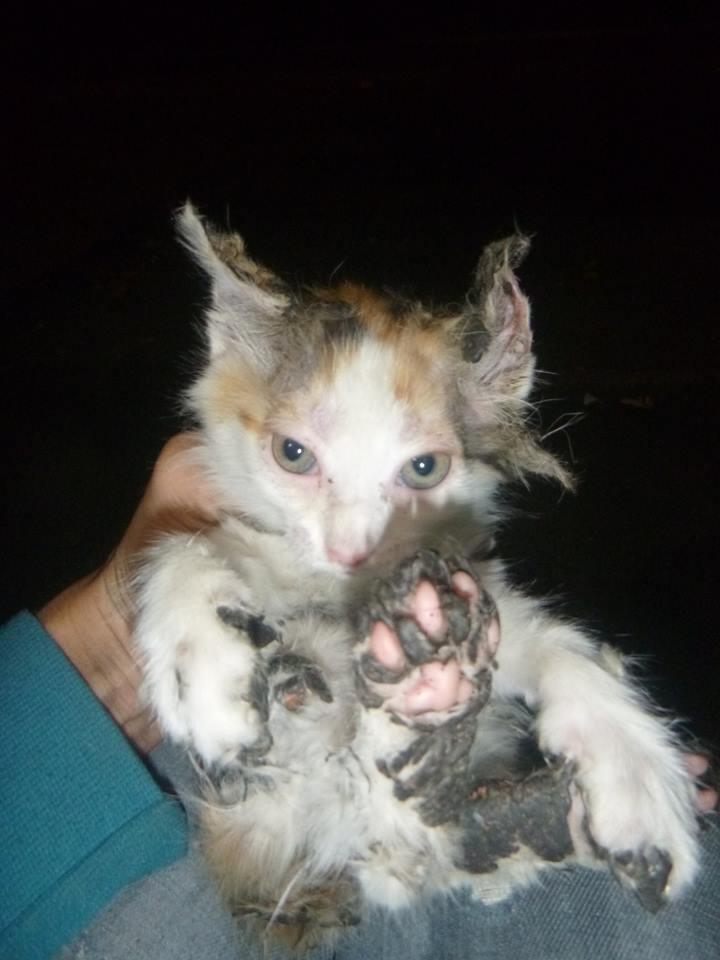 В Киеве спасли приклеенного битумом котенка (ФОТО), фото-1