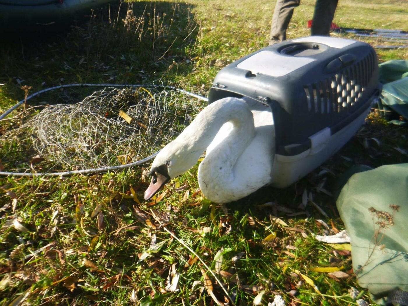 В Изяслав за птицей: Киевская команда спасения животных спасла лебедя, фото-3