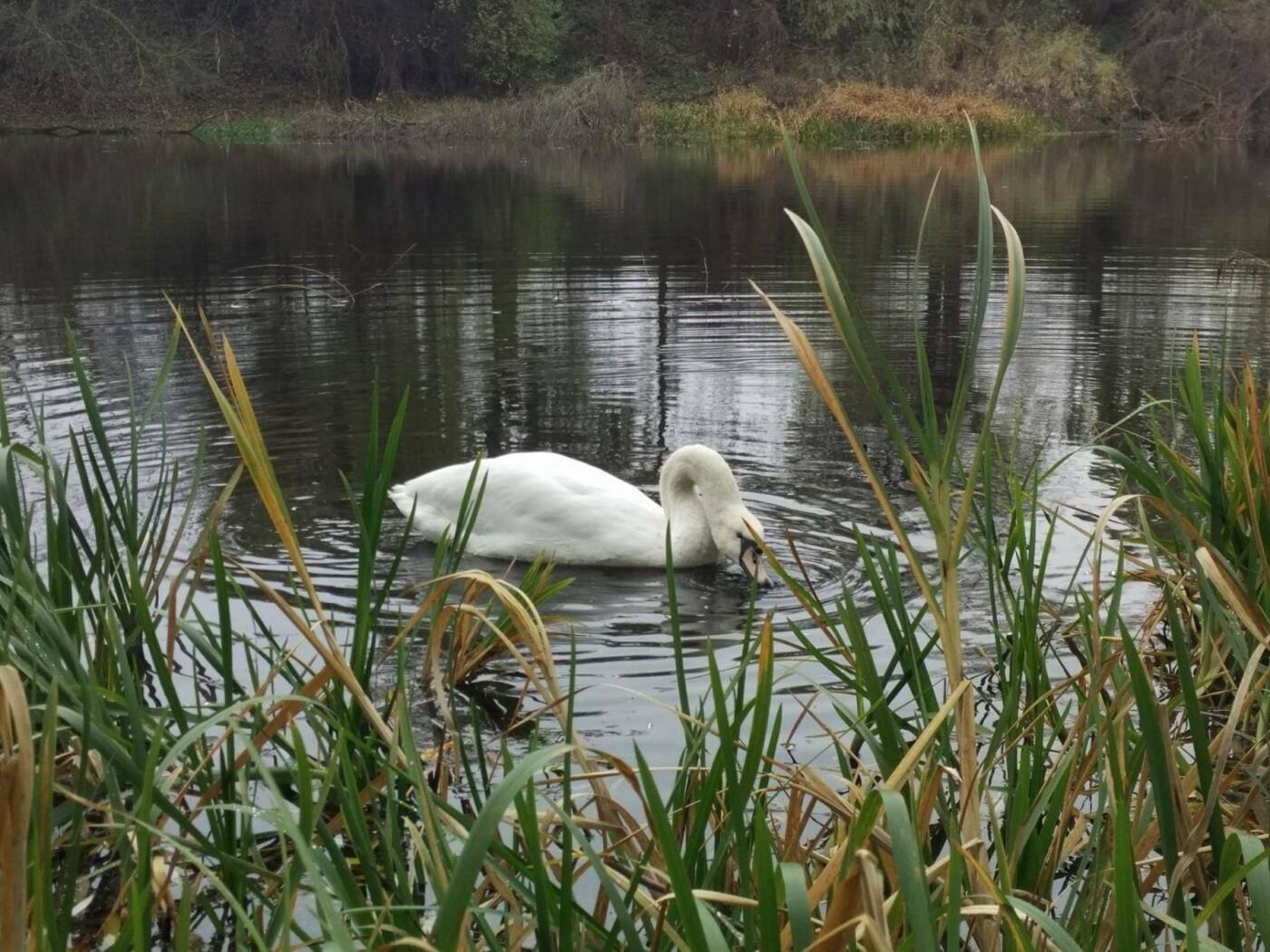 В Изяслав за птицей: Киевская команда спасения животных спасла лебедя, фото-2