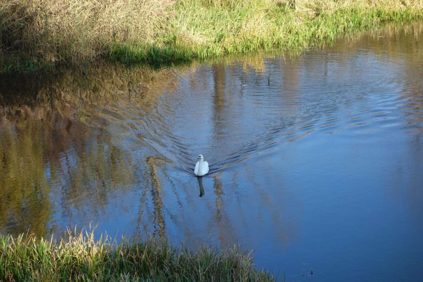 В Изяслав за птицей: Киевская команда спасения животных спасла лебедя, фото-5