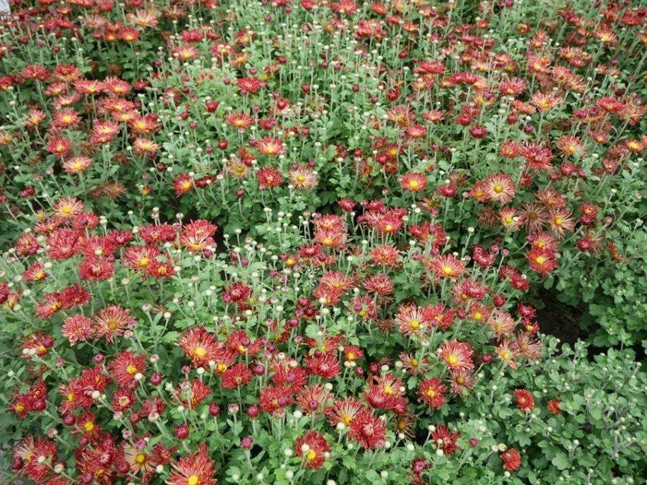 В киевском ботсаду зацвели хризантемы, - ФОТО, фото-4