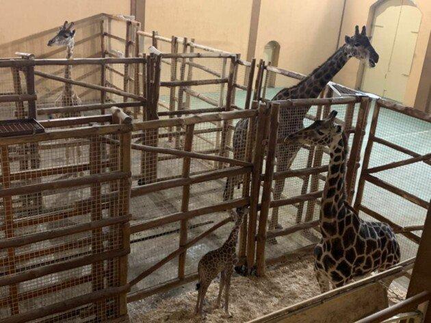 Киевлянам предлагают назвать жирафа, родившегося в День защитников Украины, ВИДЕО, фото-1, Дар'я Добровольська