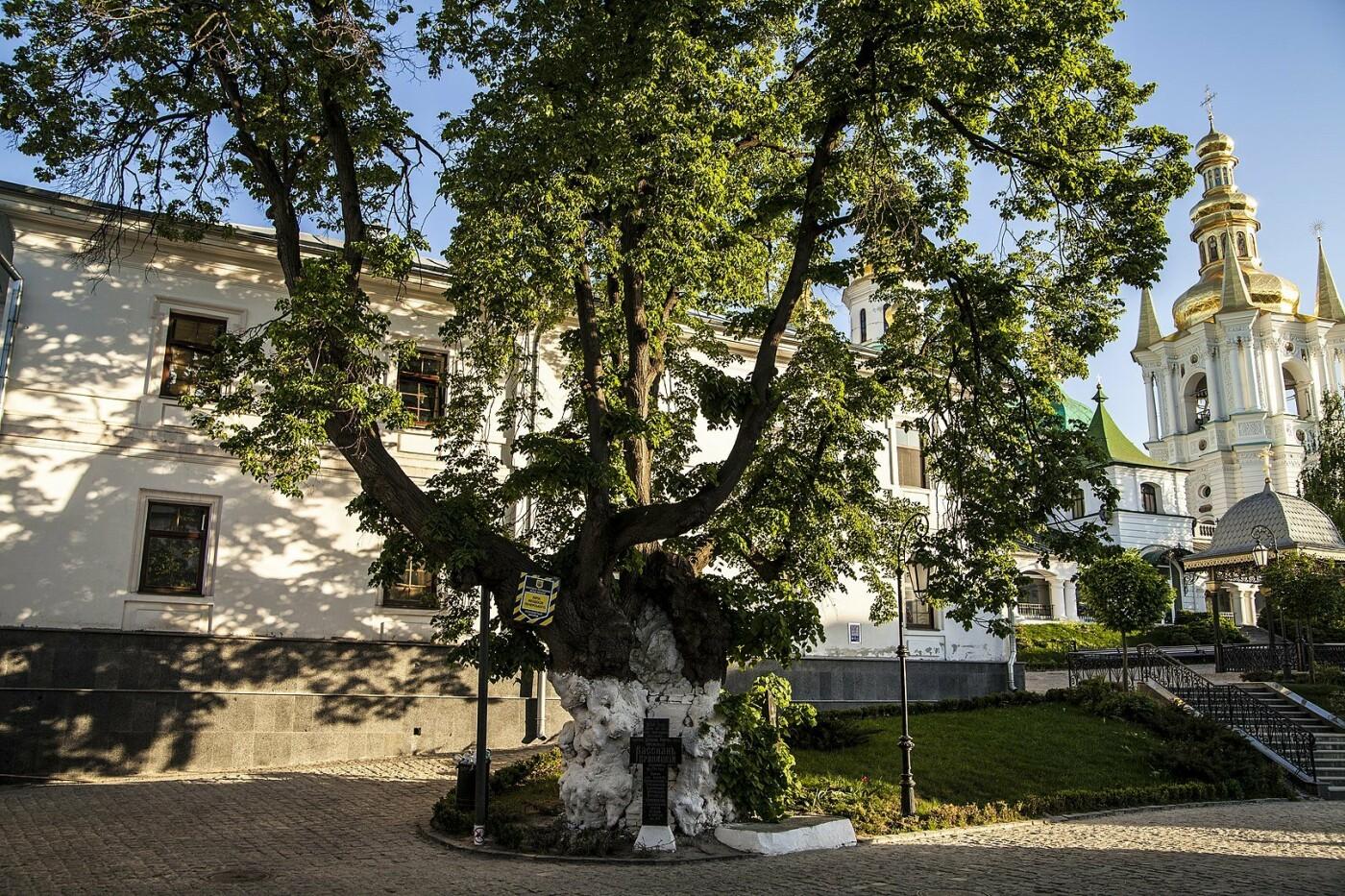 Тысячелетние дубы и липы: ТОП-10 самых старых деревьев Киева, - ФОТО, Фото: Википедия