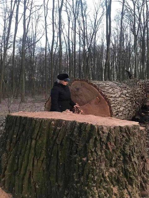 В Голосеевском парке срубили 12 вековых дубов., Фото из паблика Клуб коренного киевлянина