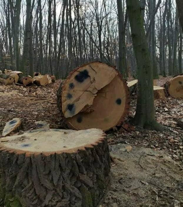 В Киеве срубили вековые дубы