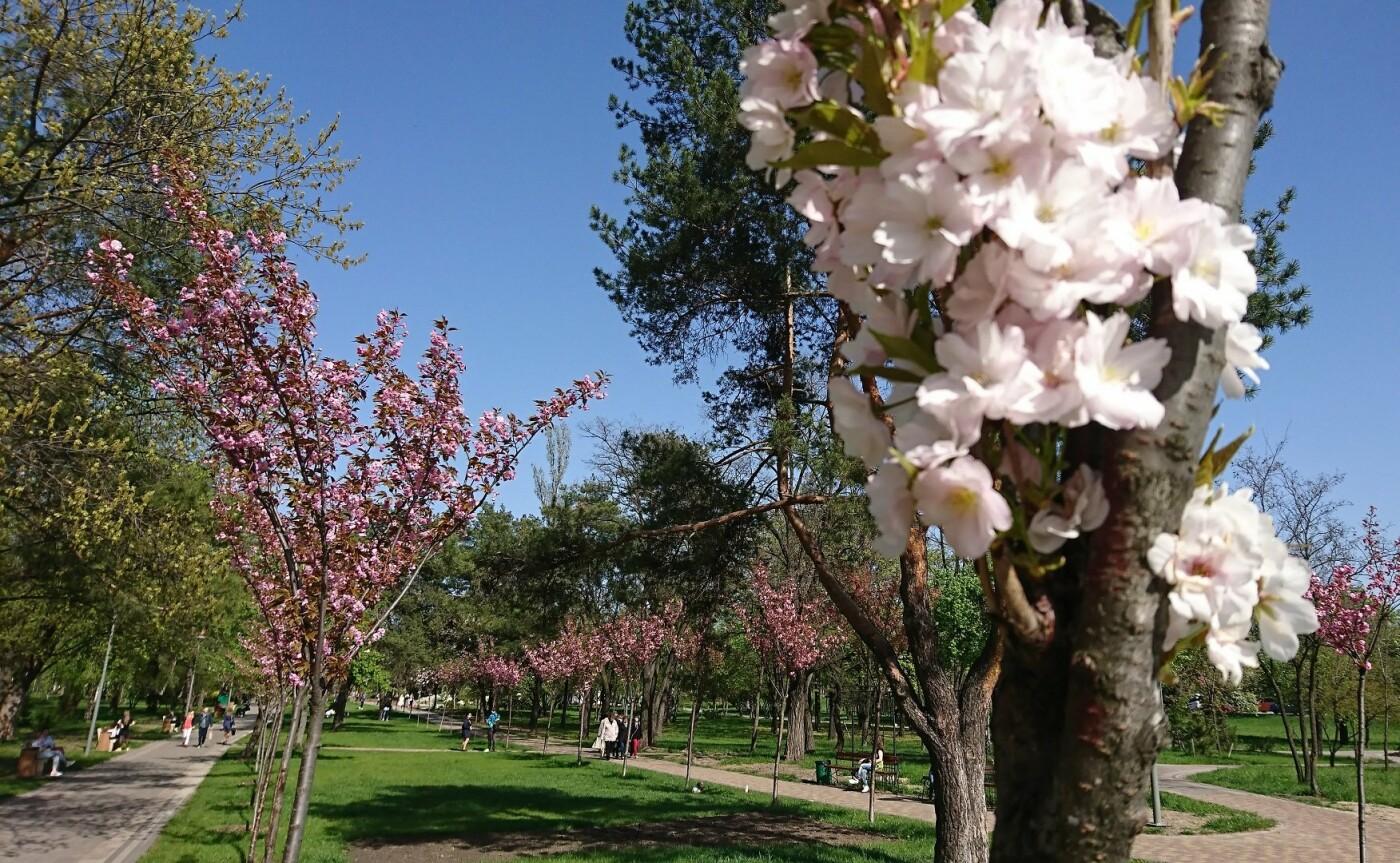 Цветущие сады японских сакур: парк «Киото» в Киеве и его уникальность, - ФОТО, Фото: dokogo3