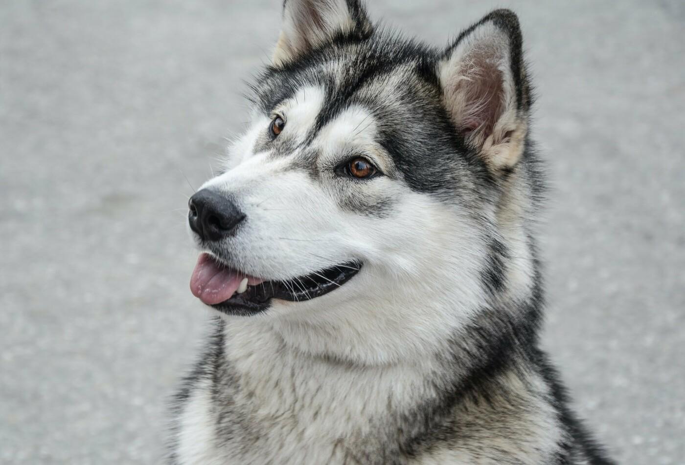 Собака породы хаски, Фото: Monika Stawowy