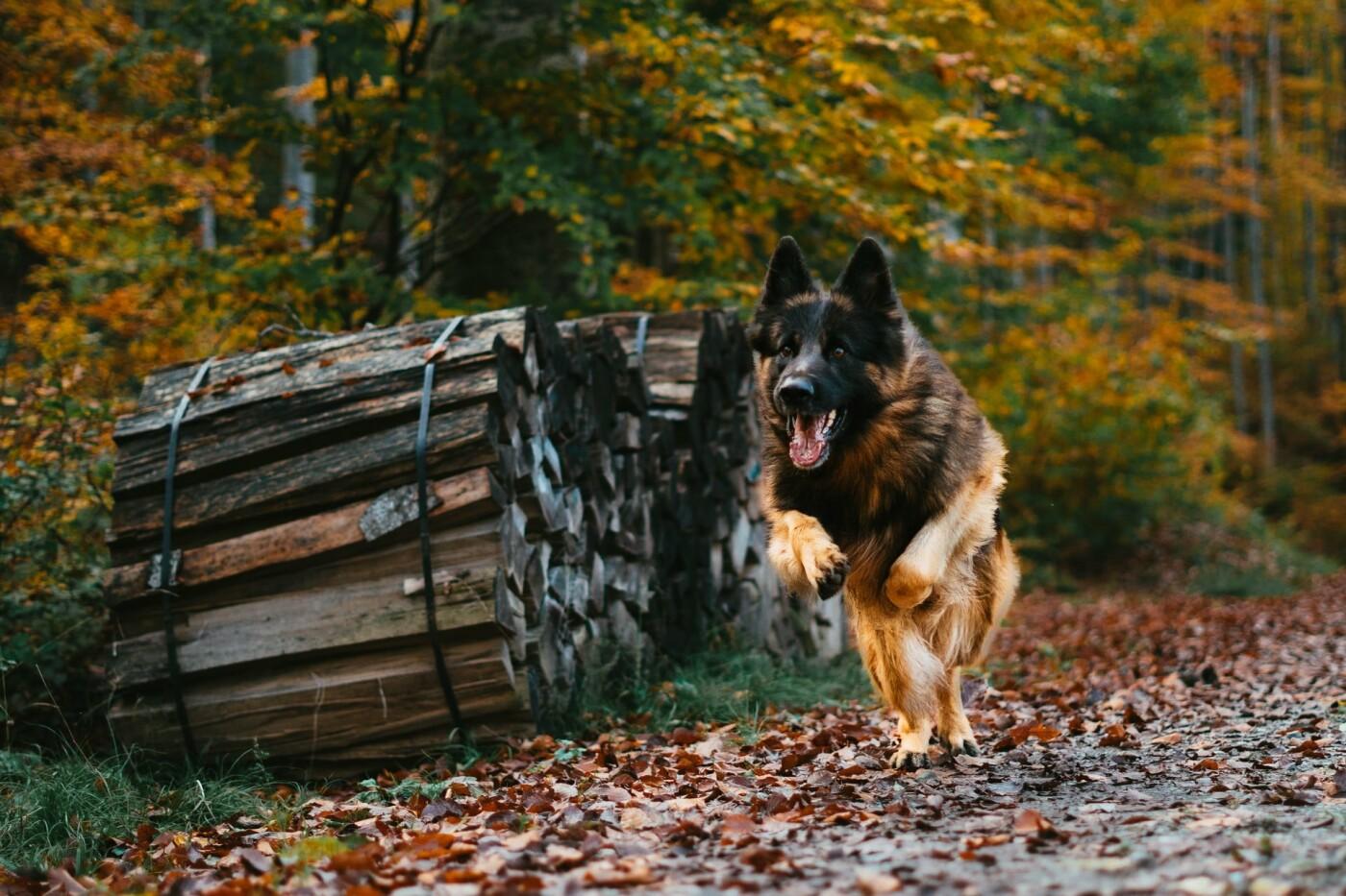 Собака породы немецкая овчарка, Фото: Tiim