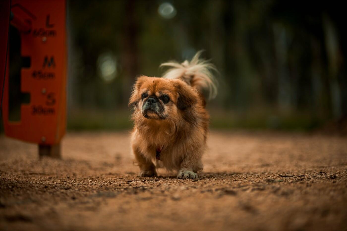 Собака породы пекинес, Фото: Vianney Cahen