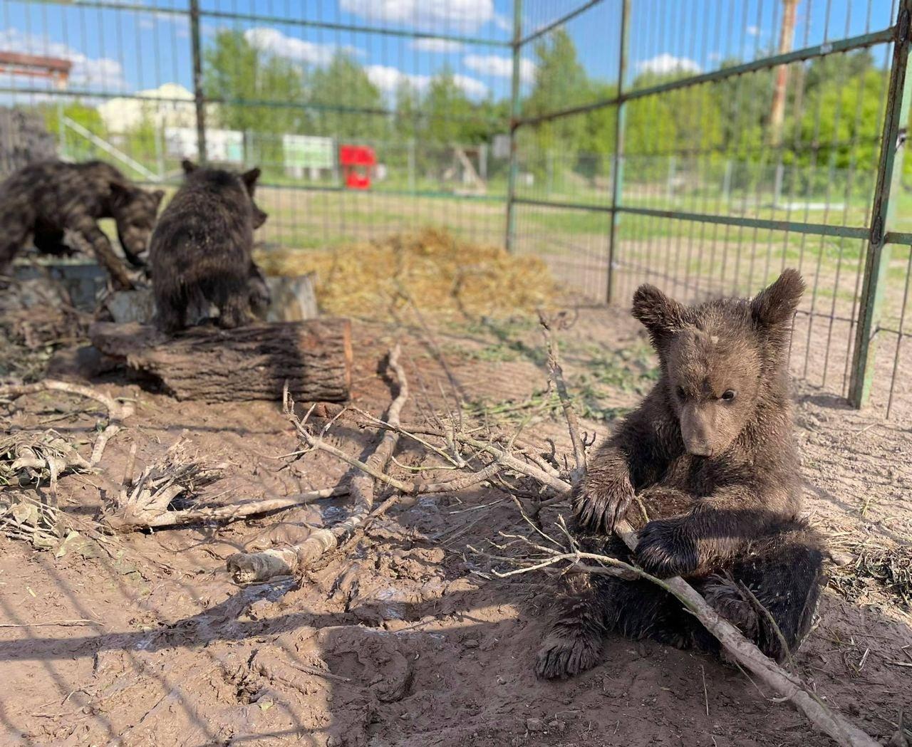 """Под Киевом из контактного зоопарка спасли пять медвежат, Фото из сайта фонда """"Клуб Добродеятелей"""""""