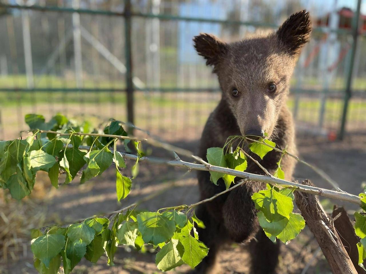 Под Киевом из контактного зоопарка спасли пять медвежат